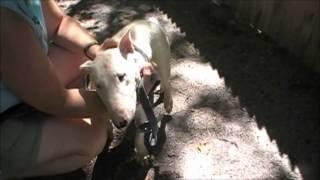 Kilo The Adorable Bull Terrier Boy Ahs Tinton Falls, N.j., Aug. 29,2012