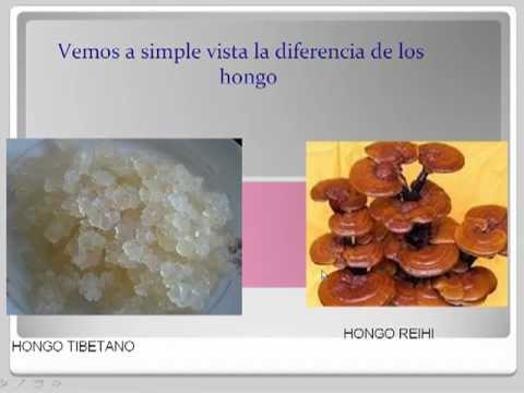 aprende a preparar hongos tibetanos