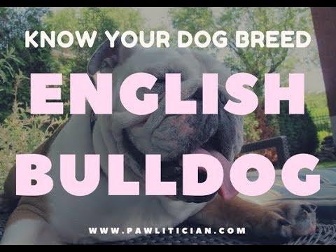 English Bulldog: Know your Dog Breed -|Ep 3: Pawlitician.com Dog Breed Info