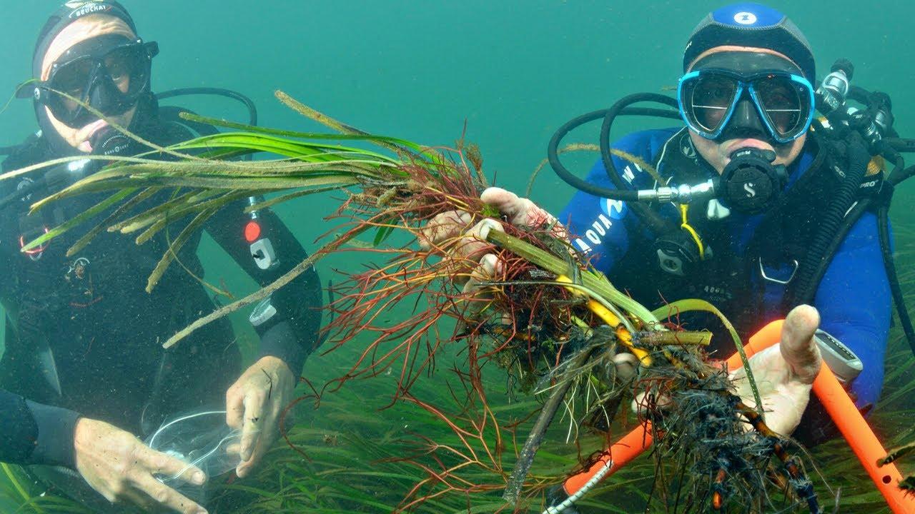 Cette plante permet de voir sous l'eau ! [Les herbiers de zostères]