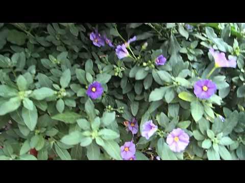 Solanum rantonetti + Anisodontea