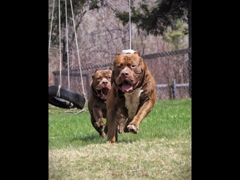 Worlds biggest Pitbull 'THE HULK' has a twin brother 'RUMBLE'  just look!!
