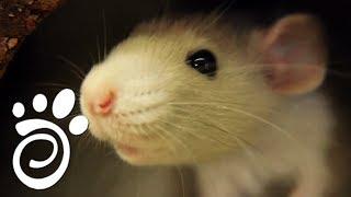 Крысы Дамбо: Модная Порода.Все О Домашних Животных