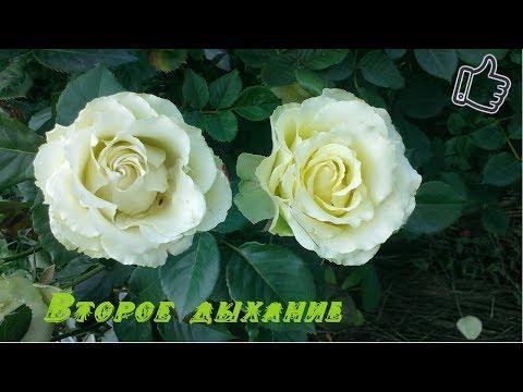 Секрет цветения роз ,чтоб роза цвела непрерывно.