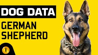 DOG DATA  GERMAN SHEPHERD | Dogs 101  Dog Breed Information & Facts