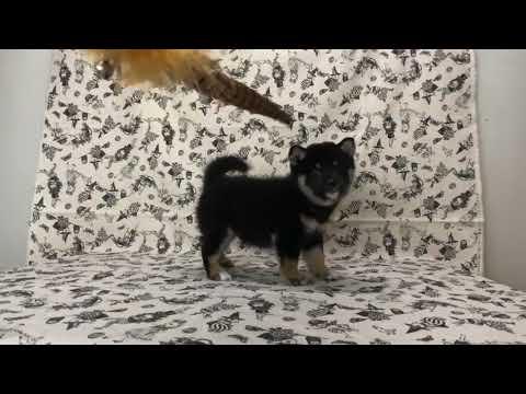 PuppyFinder.com : Black Shiba Inu Sweetie3