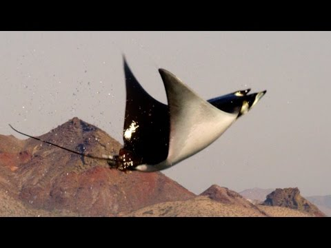 Video Of The Week | Mobula Rays belly flop to attract a mate - Shark: Episode 2 Preview - BBC One