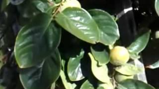 Mango, Ambarella, Pomelo, Persimmon, Wampi