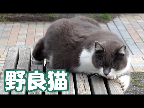 Thumbnail for Cat Video 江ノ島の猫 Enoshima Island cat