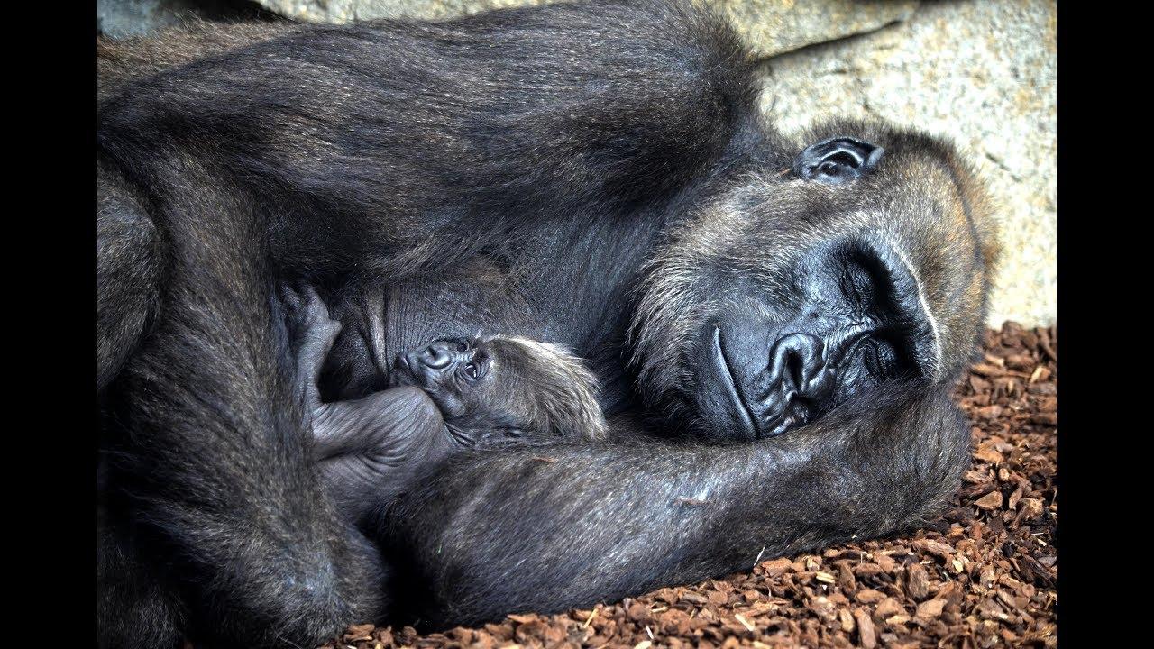 e3210e6cdc9c El bebé gorila Félix cumple 3 semanas de vida en BIOPARC Valencia ...