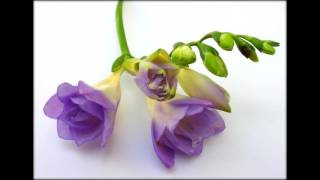 Фрезия цветы