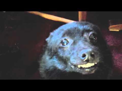 Cute smiling schipperke dog