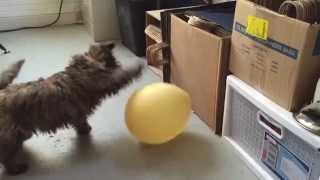 Cairn Terrier Puppy Vs Balloon