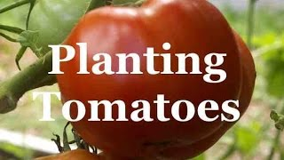 Tomato Growing Secrets: Planting tomatoes
