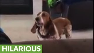 Basset Hound howls in protest after being ignored