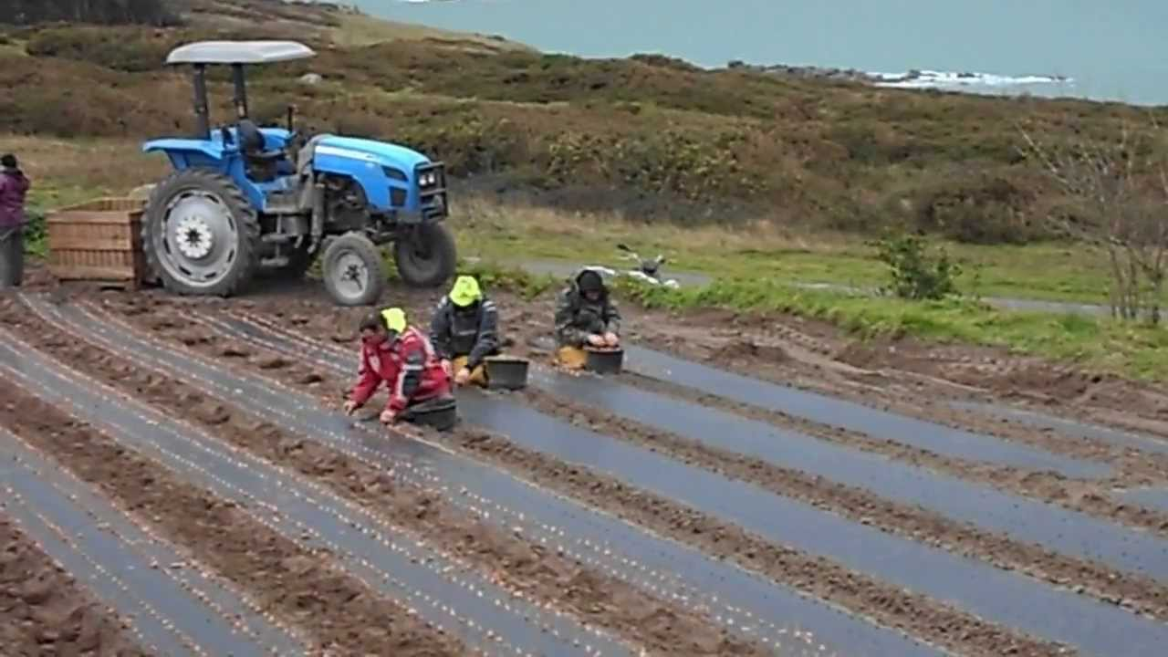 Comment Planter De L Échalote ile de batz. plantation d'échalotes 25/02/2014