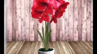 Комнатные цветы  Выращивание и уход Ч 11  Гиппеаструм и кливи от А.Семёновой