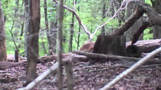 Напуганная свинья | АТН BinoX-HD Smart Бинокль с камерой