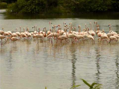 American Flamingos at Hialeah, Florida 15 May 2009