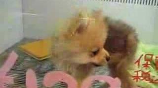 Insanely Cute Pomeranian Puppy