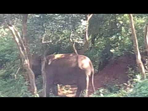 Elephant in sathyamangalam forest video take sureshkutty