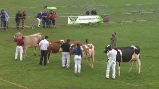 Pen Heffer Laeth Ifanc rhan 2 | Dairy Heifer Championship pt 2