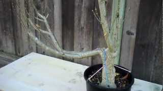 Salvaging a Rose of Sharon for Bonsai 11 month later!.mp4
