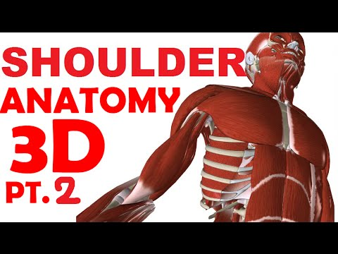 Shoulder Anatomy part 2 - Shoulder Muscles - YouTube