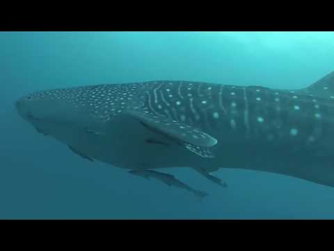 First sighting of a whale shark in Punta Cana waters!