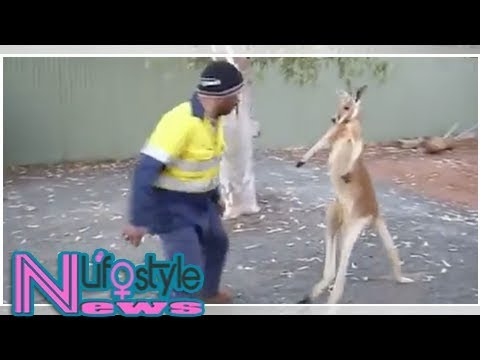 Kangaroo and builder settle differences with boxing match in australia