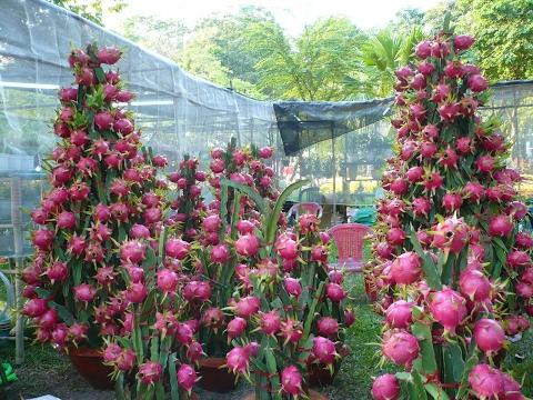 Como Plantar pitaya  (Dragon fruit) de forma rápida