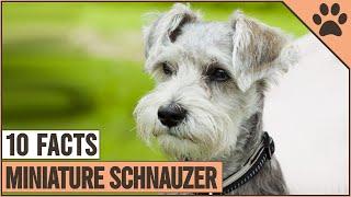 Miniature Schnauzer Dog Breed  Top 10 Facts | Dog World