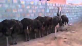 Fazal Ostrich Farm Pakistan (Gujrat) 4