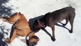 Shar Pei And Boxer Play Fight