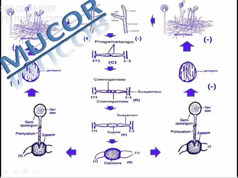Sexual reproduction in mucor or rhizopus sexual life cycle of sexual reproduction in mucor or rhizopus sexual life cycle of mucor or rhizopus ccuart Image collections