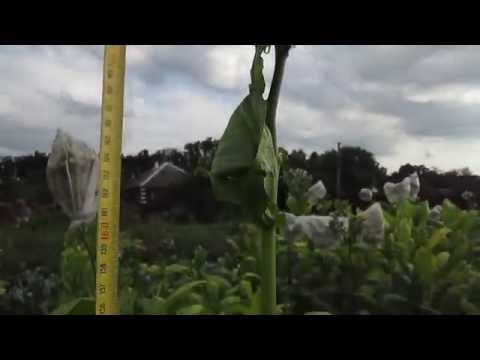 Обзор сорта Virginia Helena (Вирджиния Хелена) - купить семена табака
