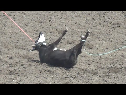 Salinas Rodeo Animal Injuries Under-Reported AGAIN!!!