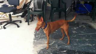 Lulu, my Pharaoh Hound runs amok in the studio. Clearly, she's not ...