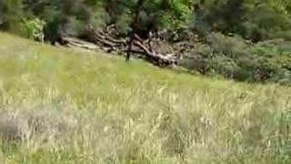 Mendocino County, CA Wild Pigs