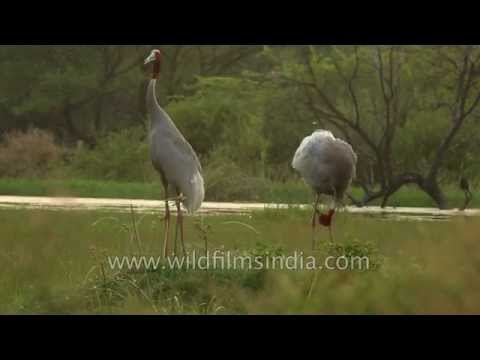 Mated for life: Sarus Crane breeding couple in India