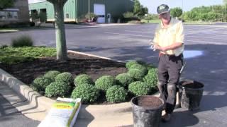 Planting Mums - Platt Hill Nursery