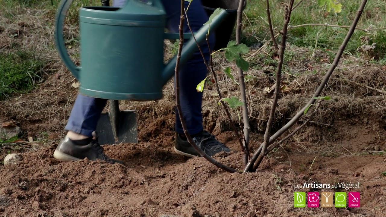 Comment et où planter un figuier dans le jardin ? - YouTube
