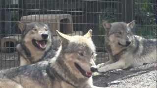 円山動物園のシンリンオオカミのパック(群れ)、ジェイ(父/7歳)、キナコ(...