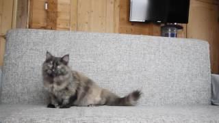 Сибирская кошка - Отрада Из Одиссеи часть 3