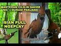 Suara Cililin Rapat Gacornya Pancingan Cililin Semua Jenis Burung Berjuara Cara Masteran Cililin  Mp3 - Mp4 Download