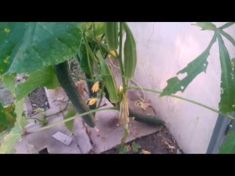 Бамия. Прописываем в огороды