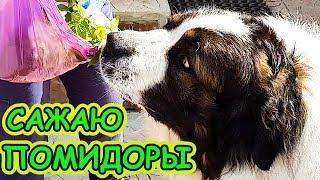 Лайфхаки от Булата: Как посадить помидоры. Московская сторожевая Говорящая медведь-собака