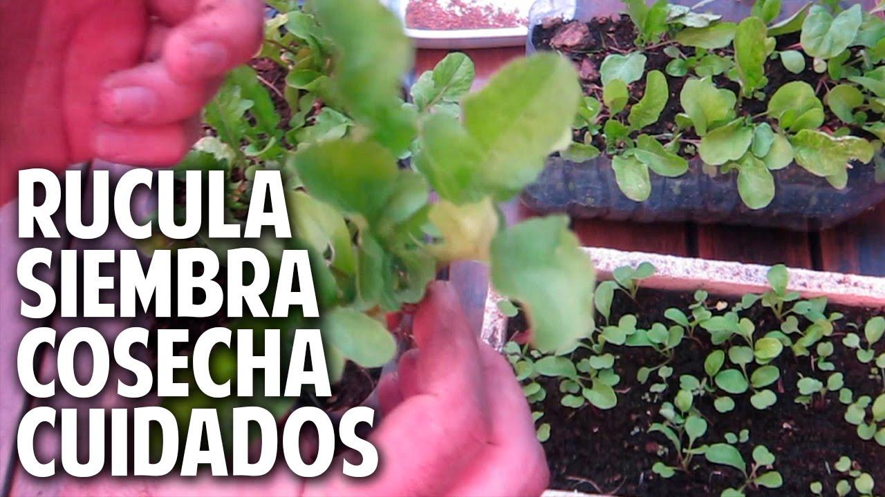 Como sembrar rucula cultivo cuidados y cosecha for Que es una mesa de cultivo