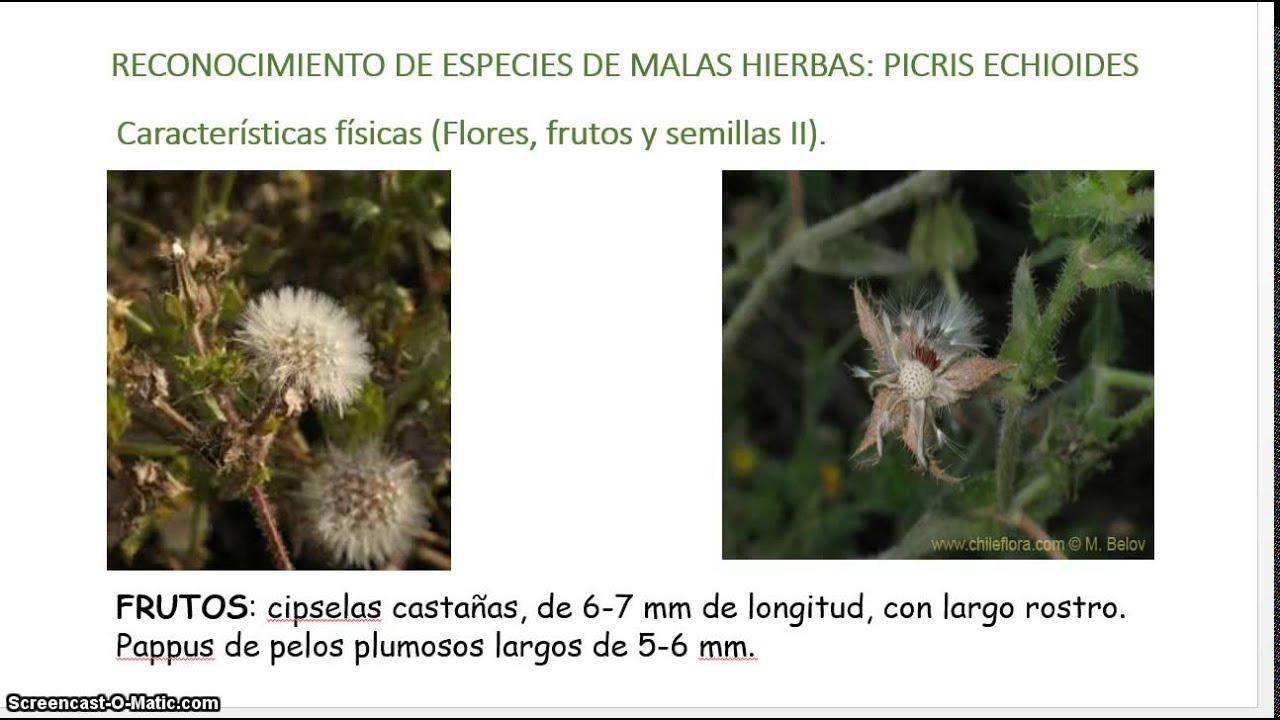 helminthotheca echioides kontroll)