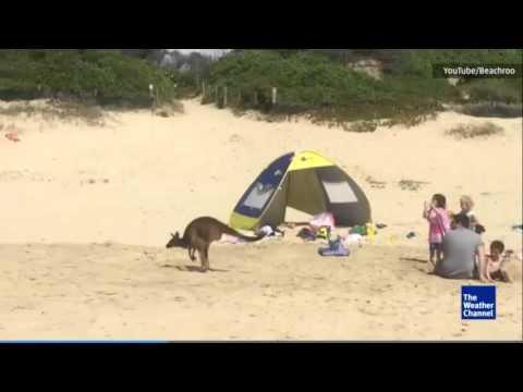 Kangaroo Surprises Beach Goers in New South Wales
